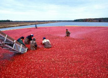 The Business of Cranberries: 4 Story Ideas