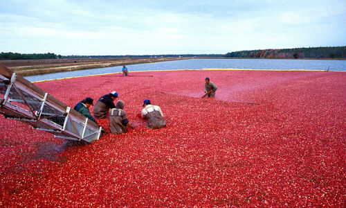 "The humble cranberry delivers a good story. (Image by ""WikiImages"" via pixabay)"