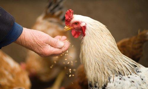 chicken being hand fed